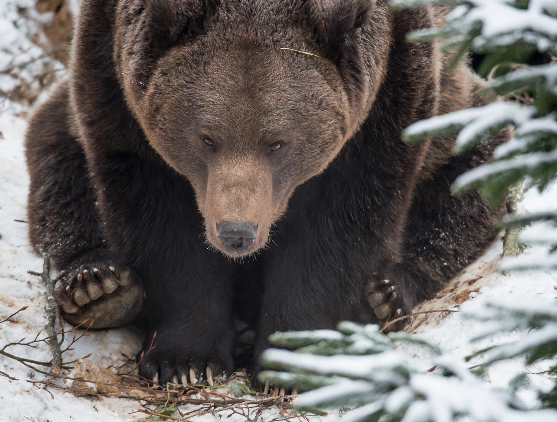 Bear1_SW_D8F9191