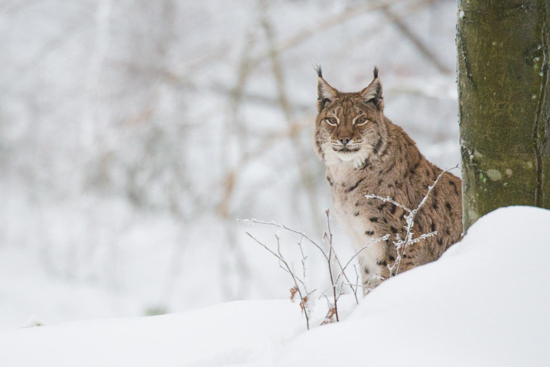 Lynx2_SW_D8F9716