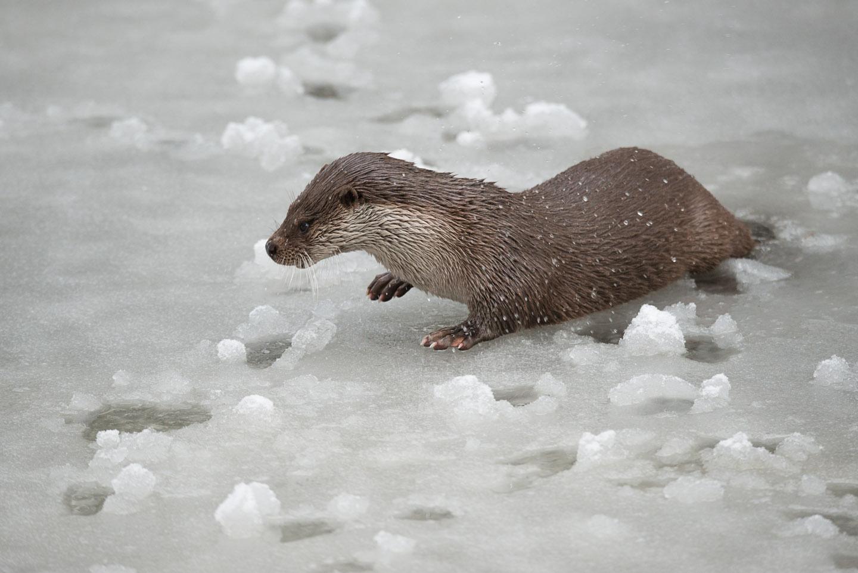 Otter2_SW_D8F0036
